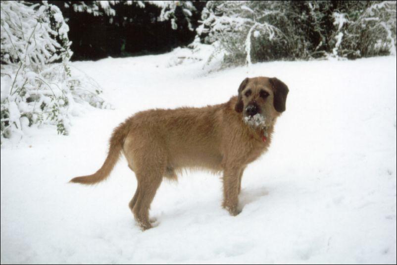 Photo Coarse Haired Styrian Hound Dog Standard