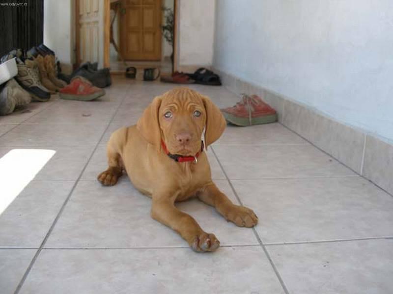 ALL BREEDS DOGS: Vizsla dog