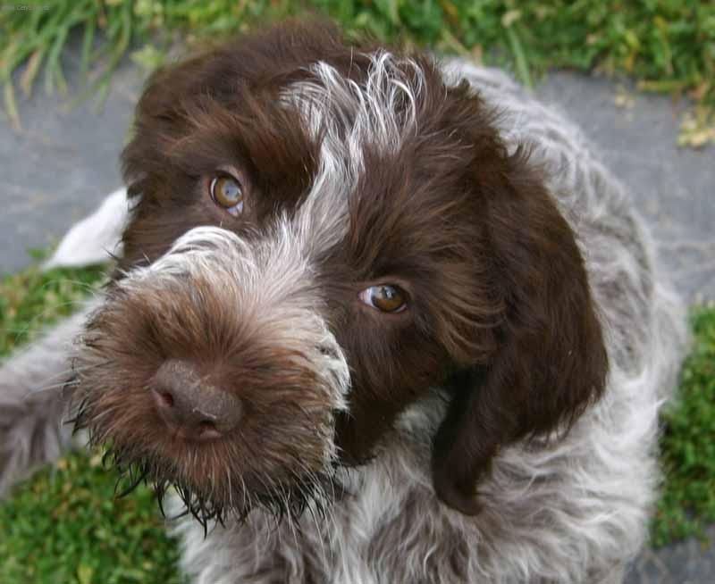 Wire-haired pointing griffon korthals (Dog standard) (Griffon d'arrêt ...